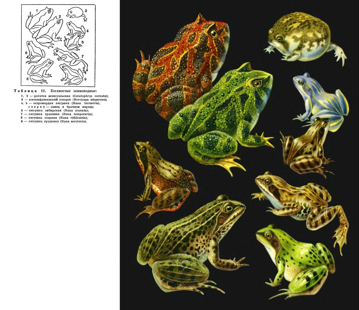 как называется самец лягушки википедия