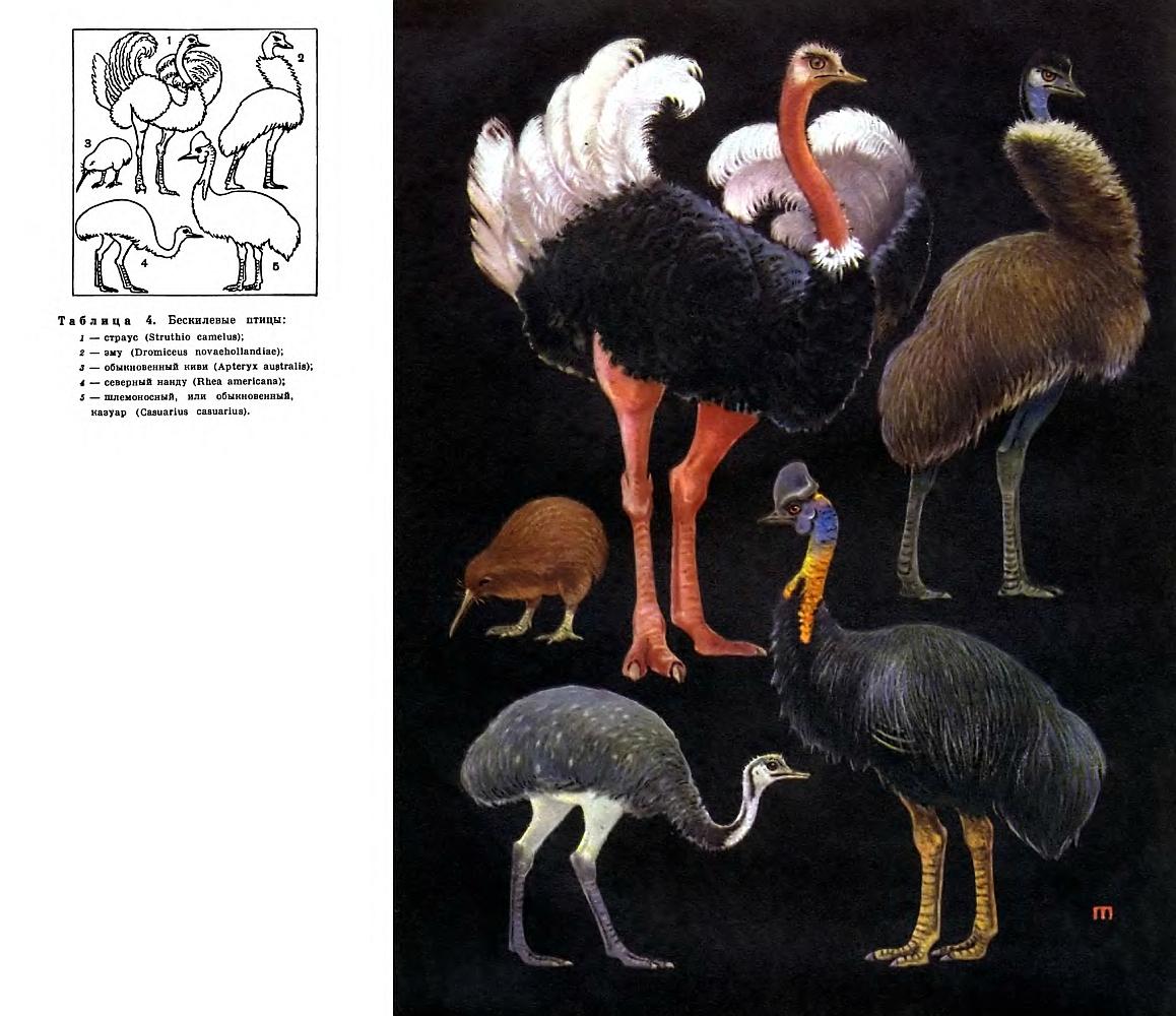 Презентация по птице казуар