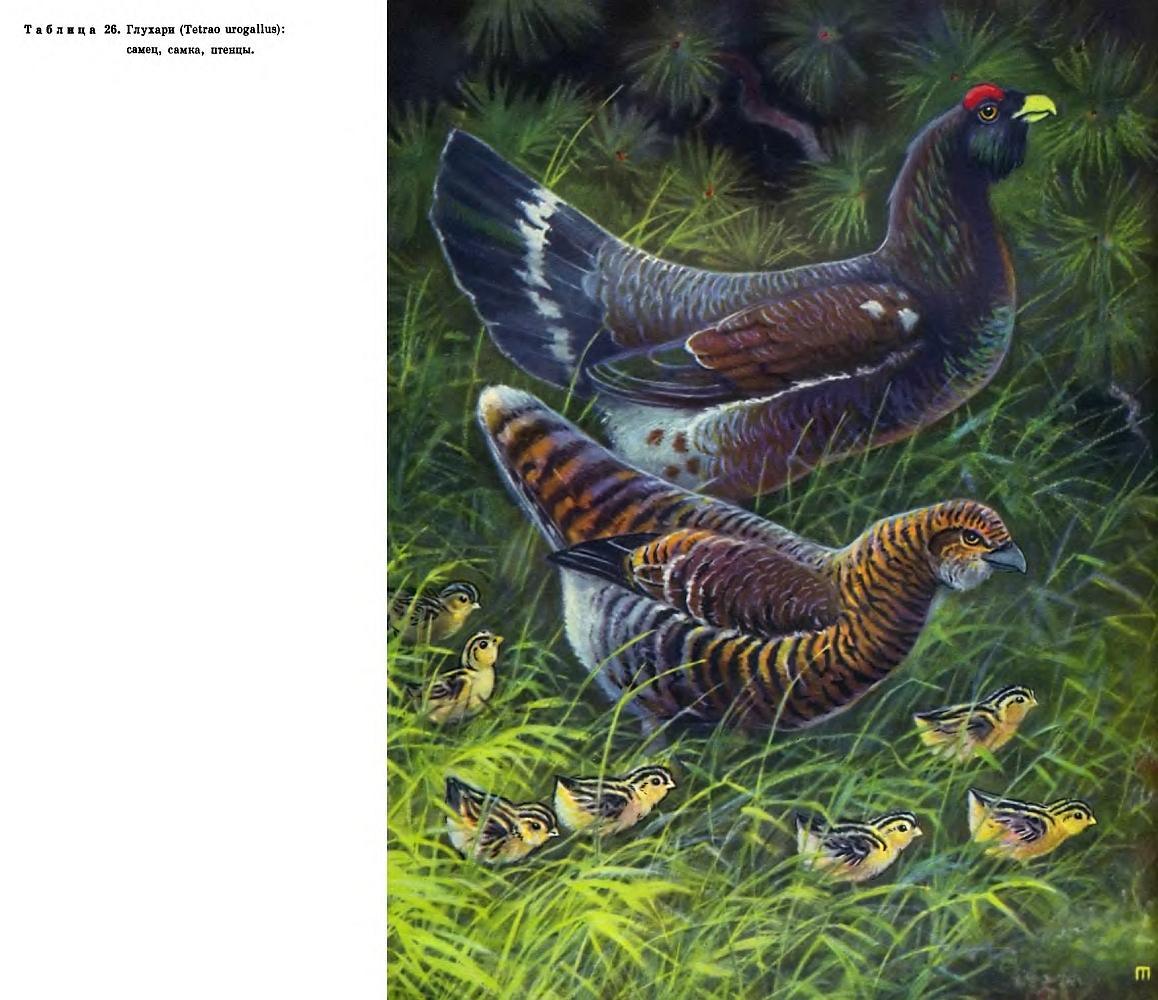 Охота на глухаря: Охота на весеннем току, глухариный