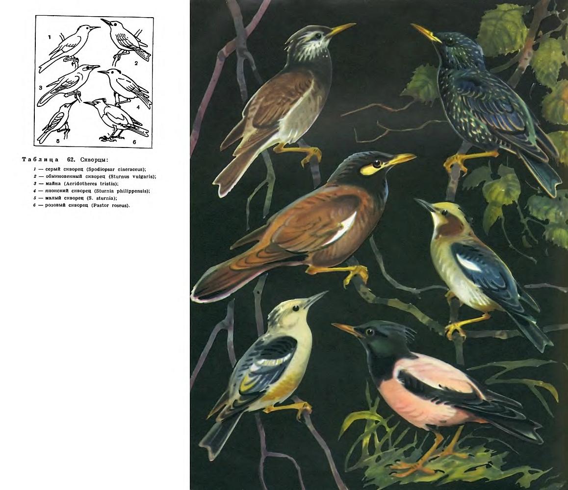 Многие из этих птиц — неплохие певцы