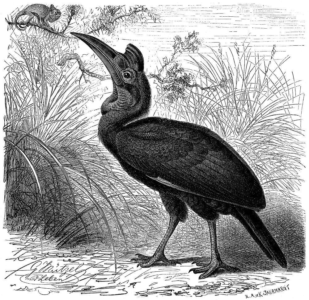 Абиссинский рогатый ворон