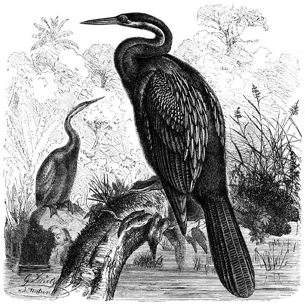 Африканская змеешейка (Anhinga rufa)