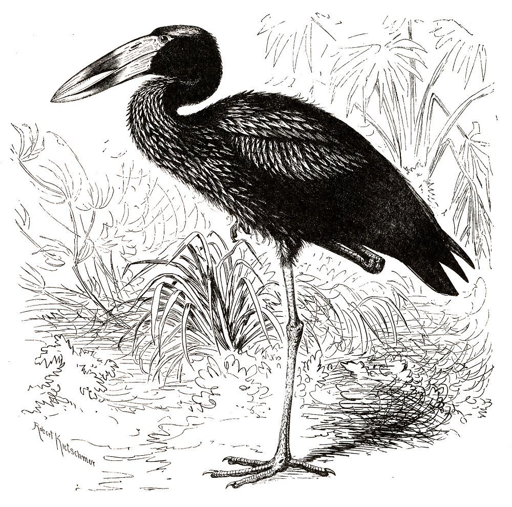 Африканский аист-разиня (Anastomus lamelligerus)