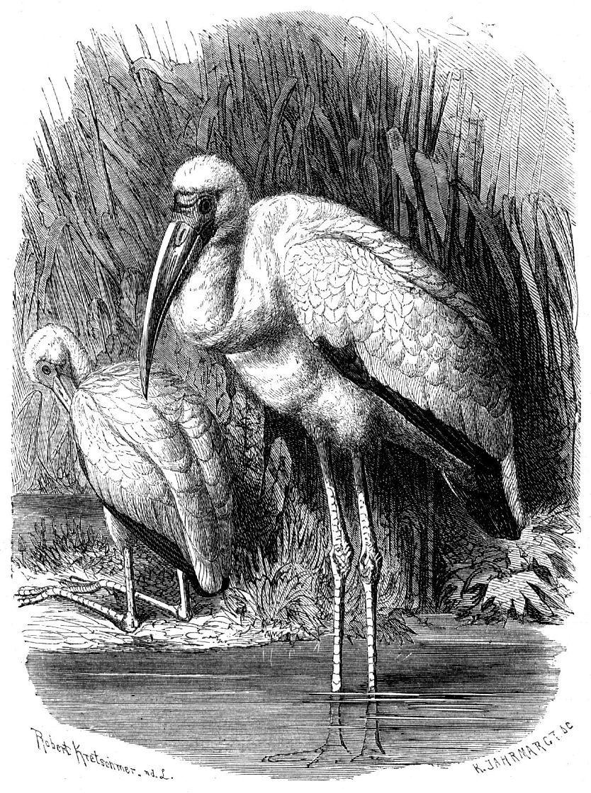 Африканский клювач (Ibis ibis)