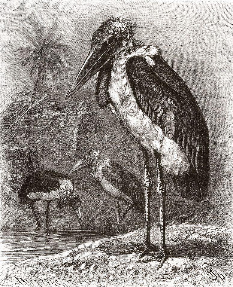 Африканский марабу (Leptoptilus crumeniferus)