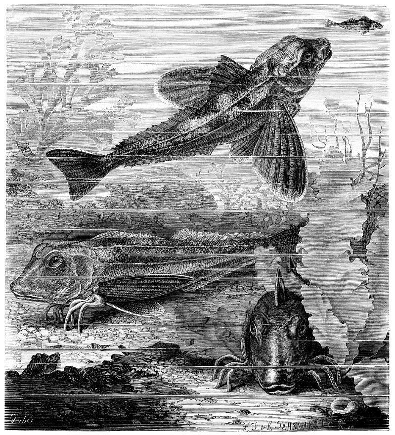 Агонус, или европейская лисичка (Agonus cataphractus)