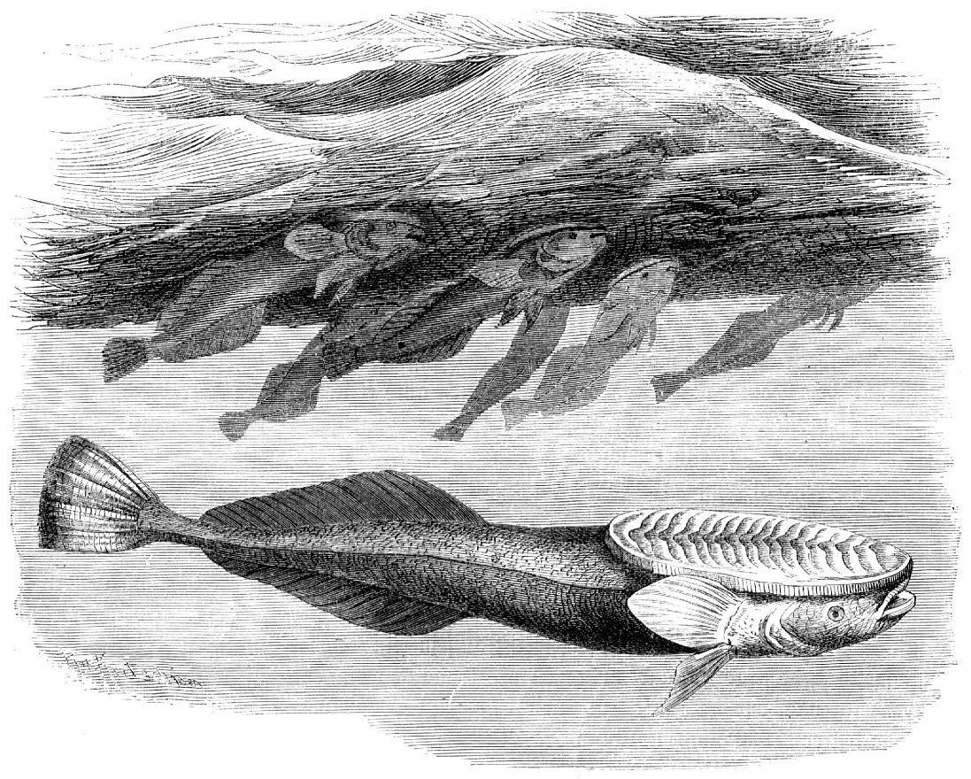 Акулья ремора (Remora гетога)
