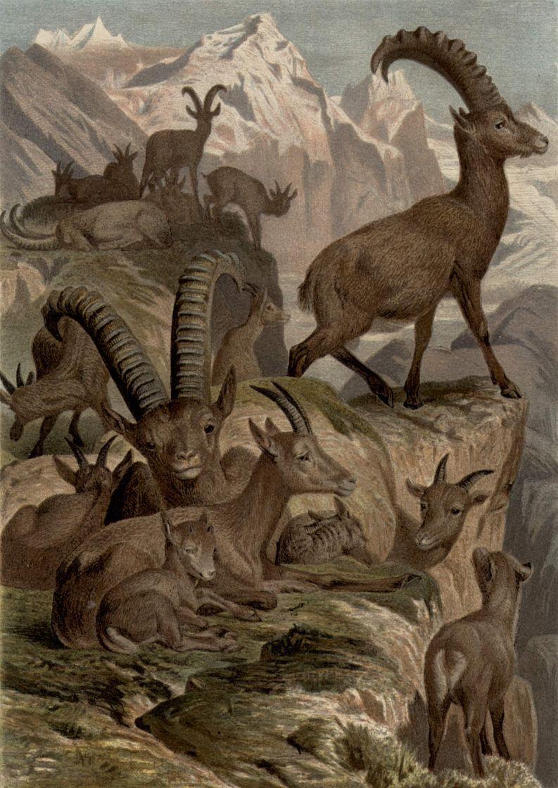 Альпийский козел (Capra ibex)
