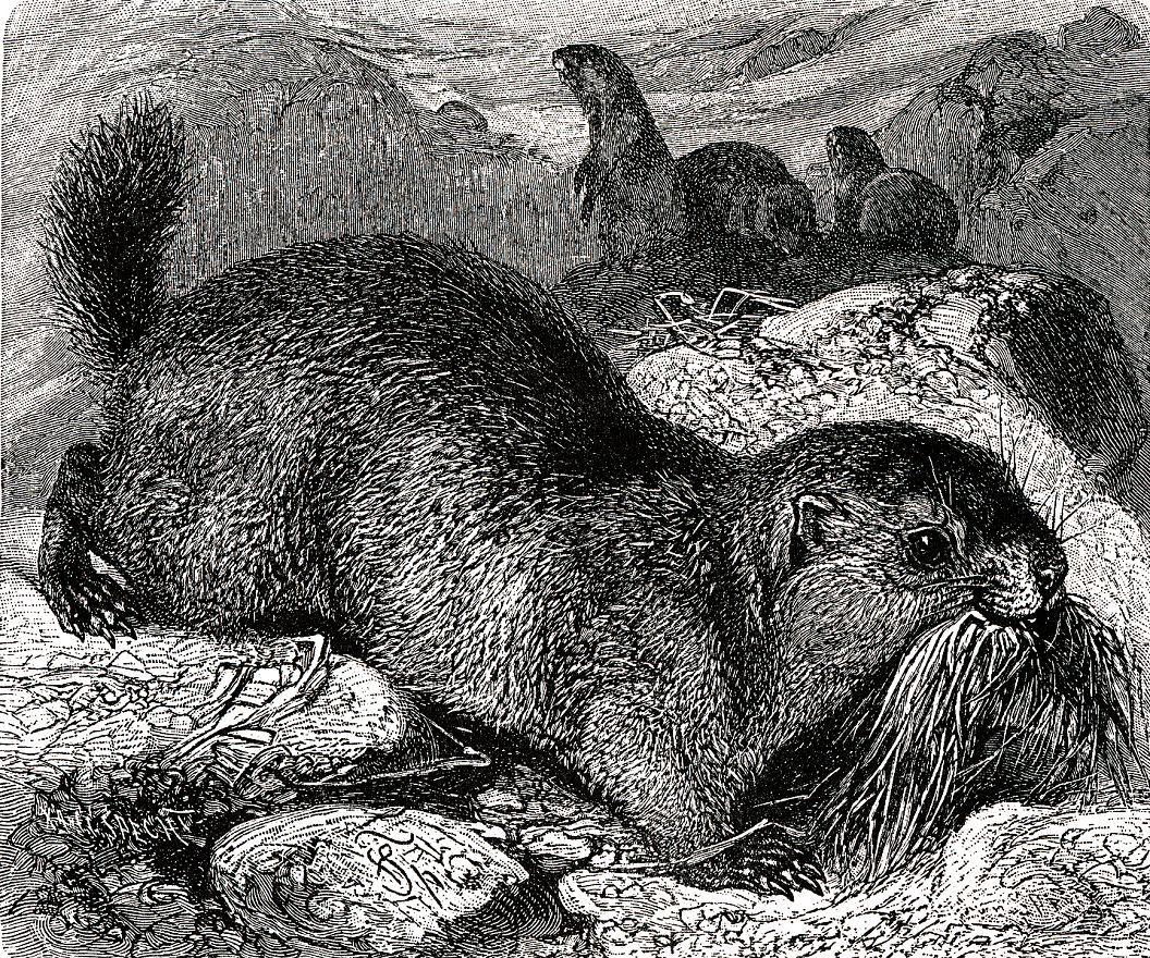 Альпийский сурок (Marmota marmoia)