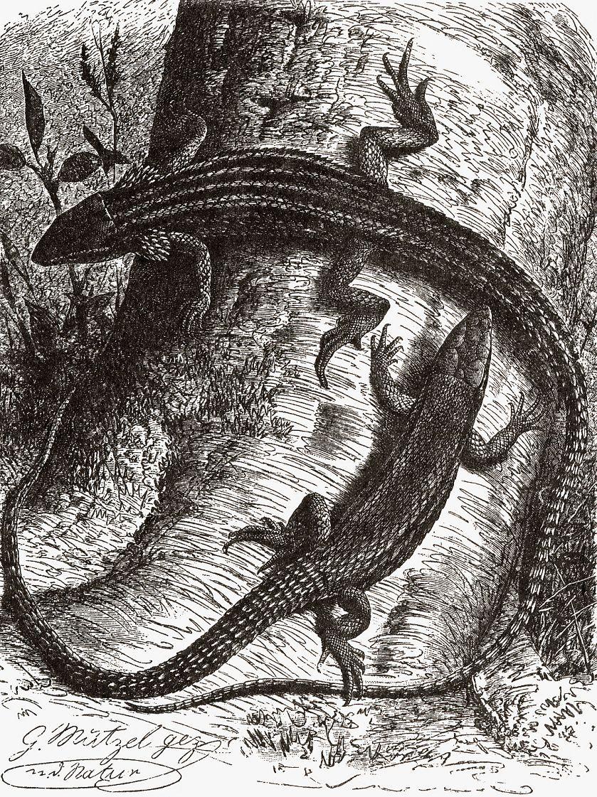 Алжирский псаммодромус (Psammodromus algirits)