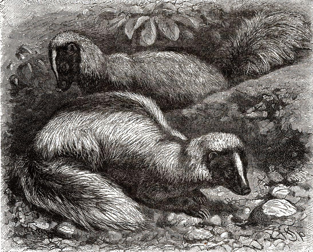 Амазонский скунс (Conepatus semistriatus)