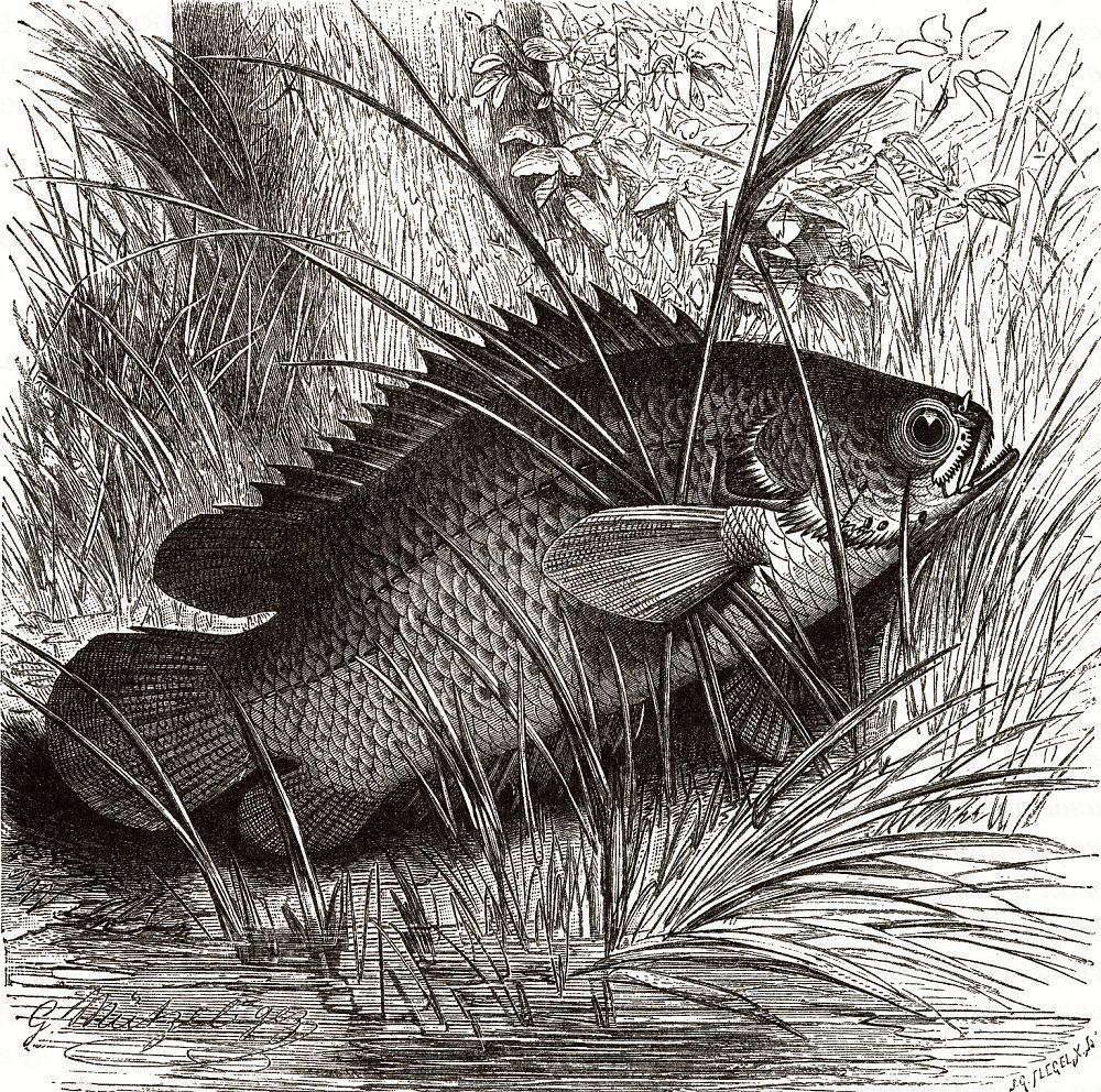 Анабас, или рыба-ползун (Anabas testudineus)