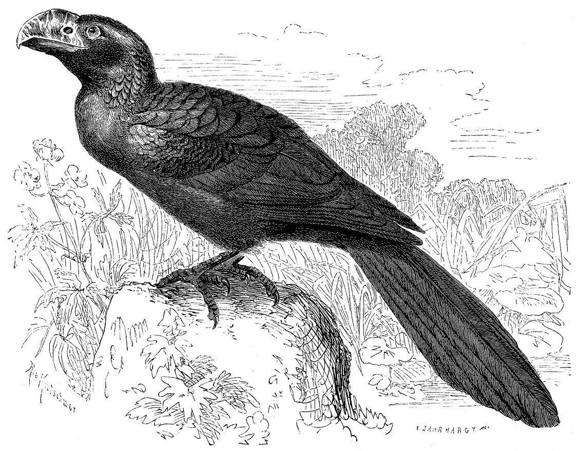Ани (Crotophagaam)