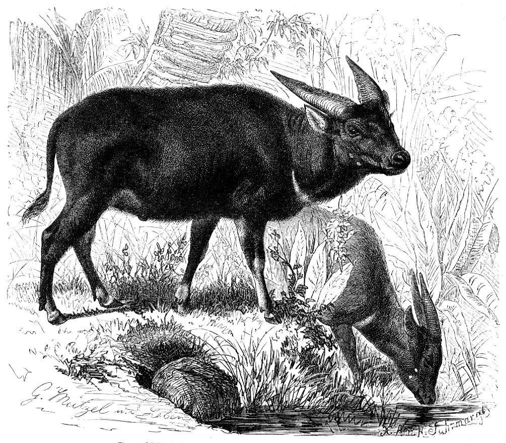 Аноа, карликовый буйвол (Bubalus depressicornis)