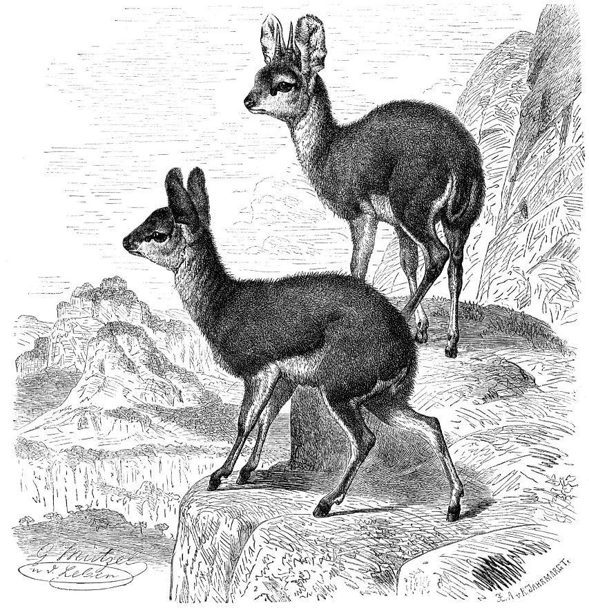 Антилопа-прыгун (Oreotragus oreotragus)