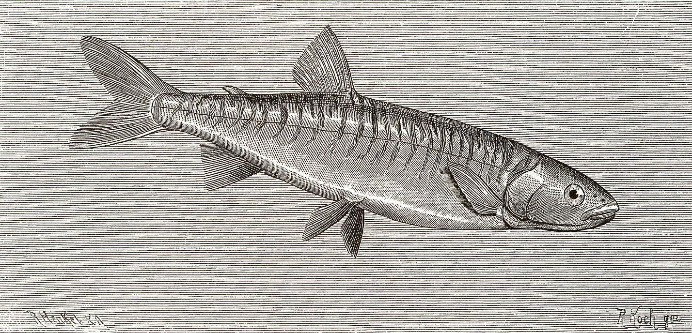Аплохитон-зебра (Aplochiton zebra)
