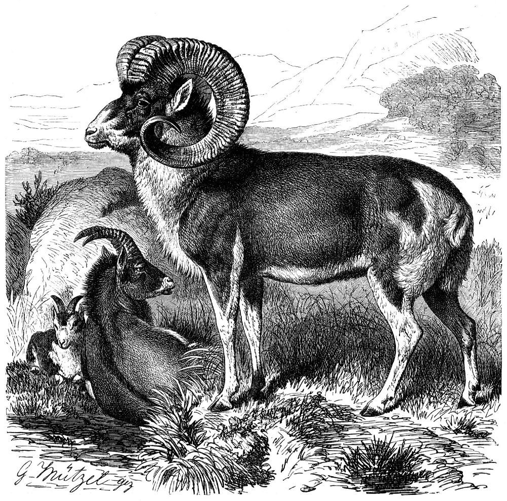 Архар (Ovis amтоп)