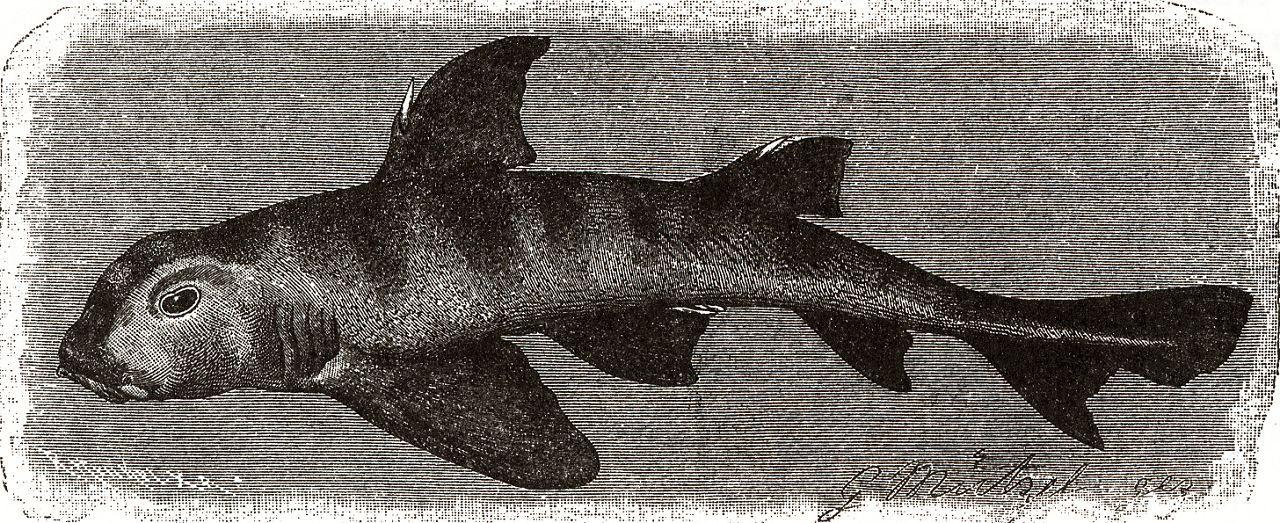 Австралийская рогатая, или бычья, акула (Heterodontus portusjacksonl)