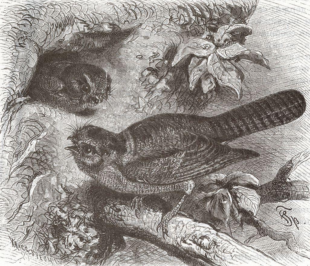 Австралийский совиный лягушкорот (Aegotheles cnstatus)