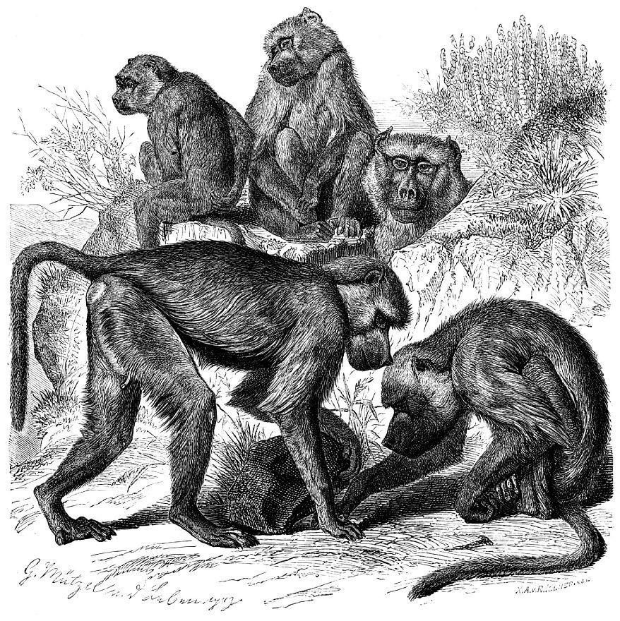Бабуин, или желтый павиан (Papio cynocephalus)
