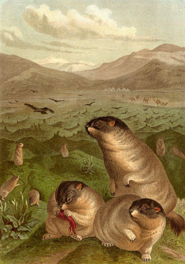 Байбак (Marmota bobak)