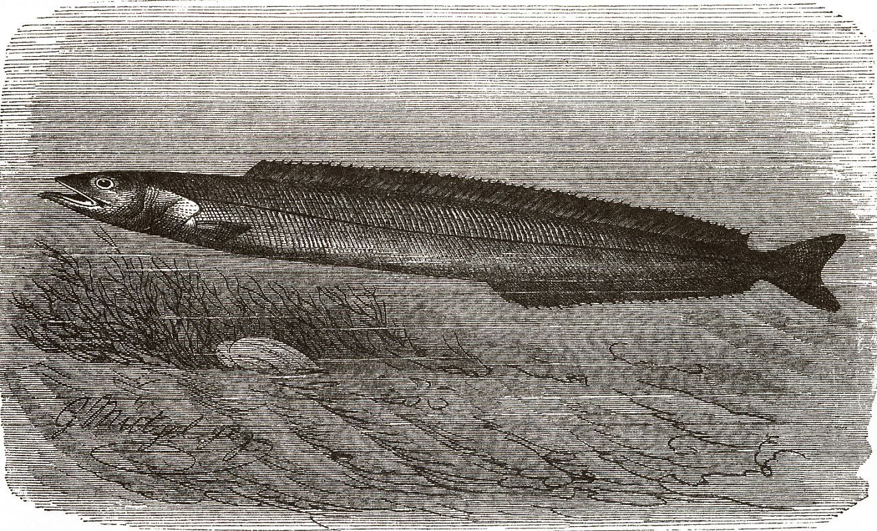 Балтийская песчанка (Ammodytes tobianus)