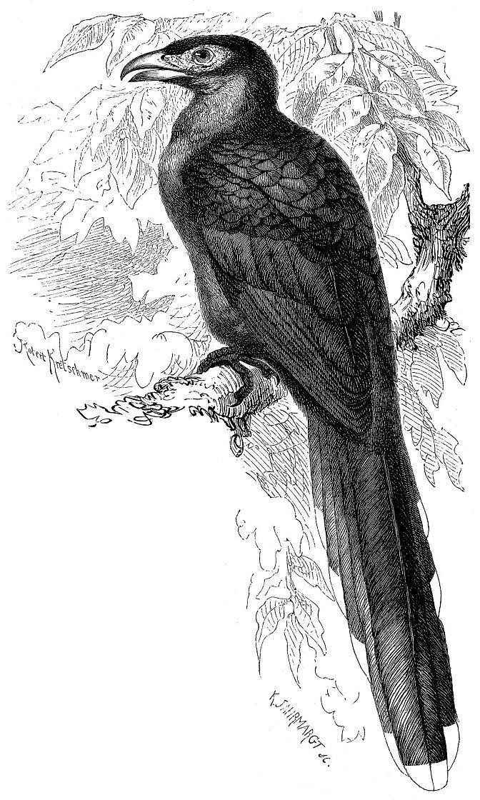 Бан-кокил (Phoenicophaeus iristis)