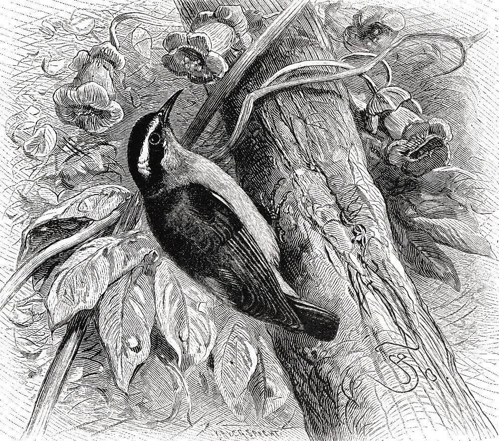Банановый певун (Coereba flaveola)