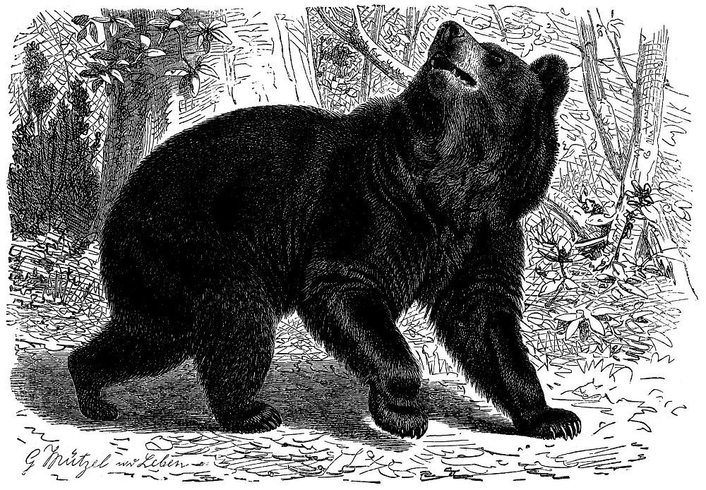 Барибал, или черный медведь медведь (Ursus americanus)