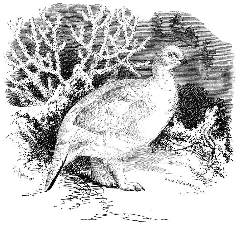 Белая куропатка (Lagopus lagopus) в зимнем оперении.