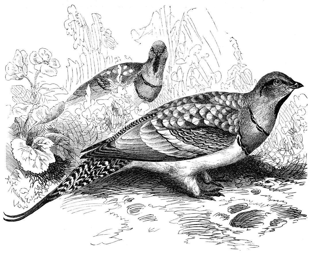 Белобрюхий рябок (Pterocles alchata)