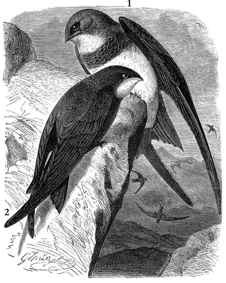 1 - Белобрюхий стриж (Apus melba); 2 - Черный стриж (Apus apus)