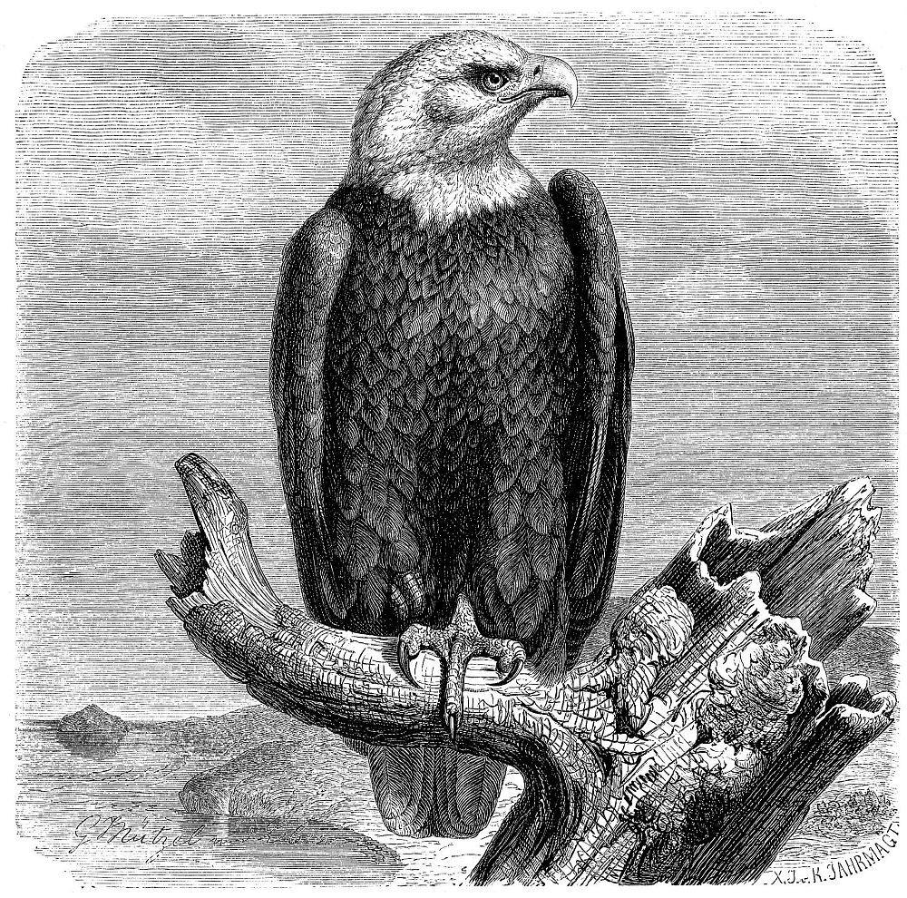 Белоголовый орлан (Haliaeetus leucocephalus)
