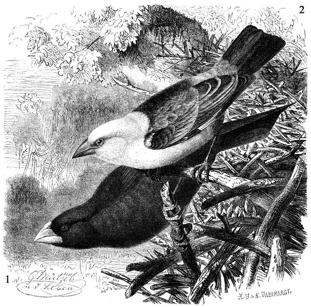 1 - Белоголовый скворцовый ткач (Dinemellia dinemelii) 2 - Буйволовый ткач (Bubalornis albirostris)