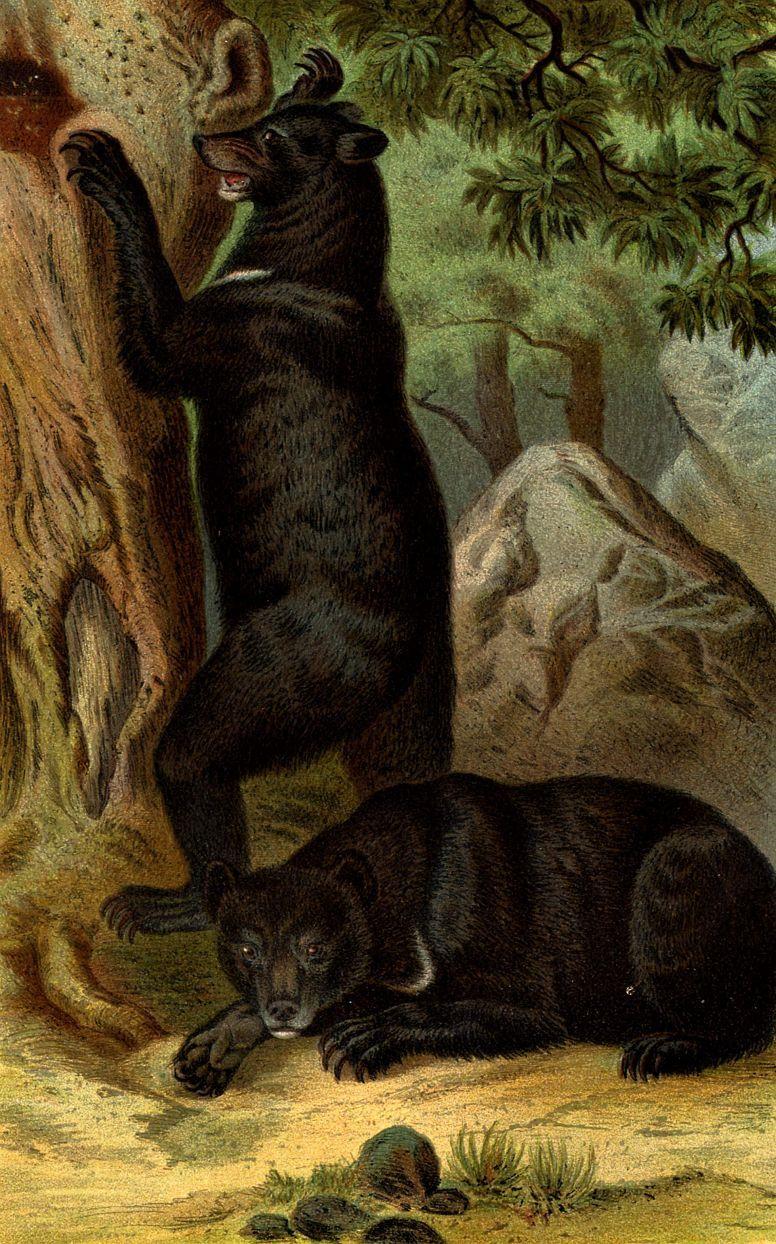 Белогрудый (гималайский) медведь (Ursus tibetanus )
