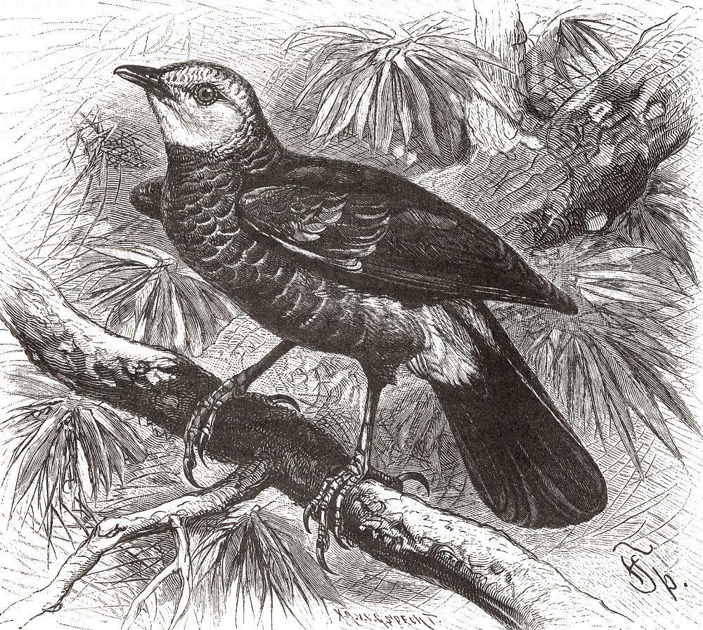 Бедопоясничная дроздовая тимелия (Turdoides leucopygius)
