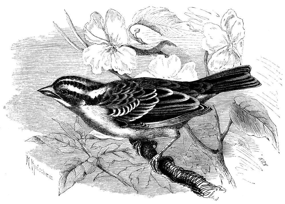 Белошейная зонотрихия (Zonotrichia albicollis)