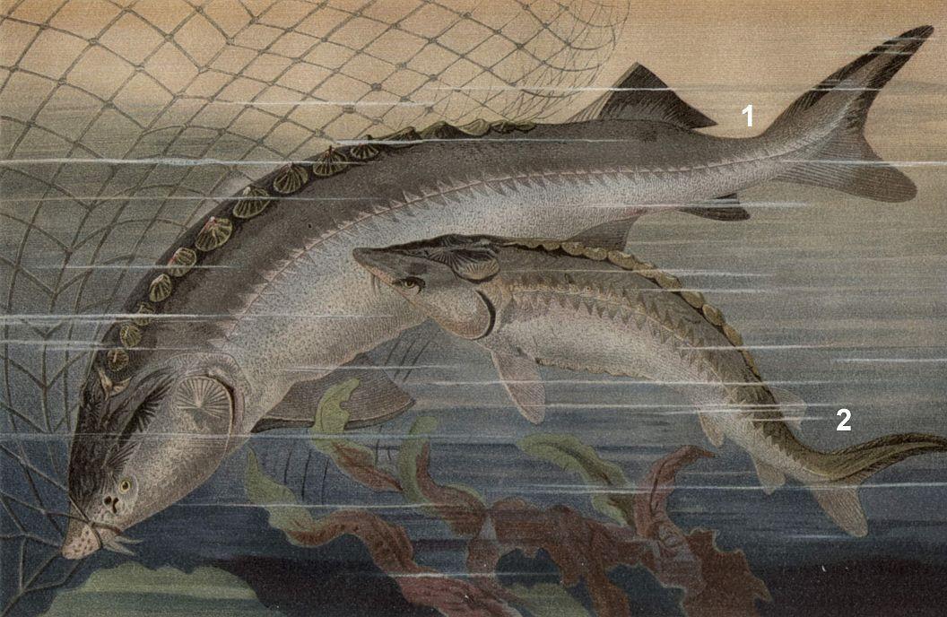 1 - Белуга (Huso huso) 2 - Атлантический осетр (Aclpenser sturio)