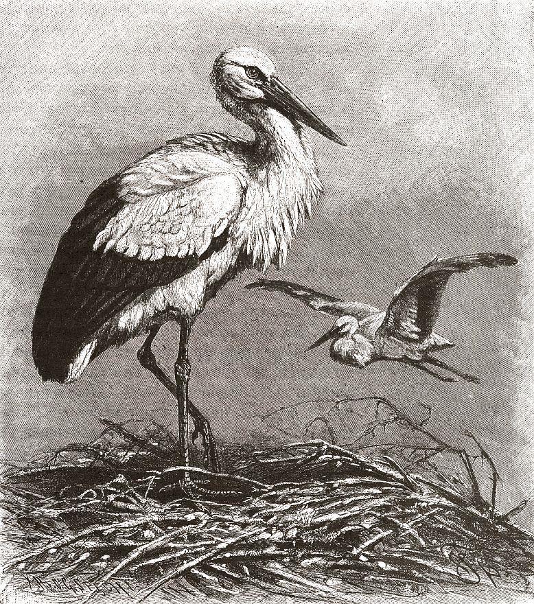 Белый аист (Ciconia ciconia)