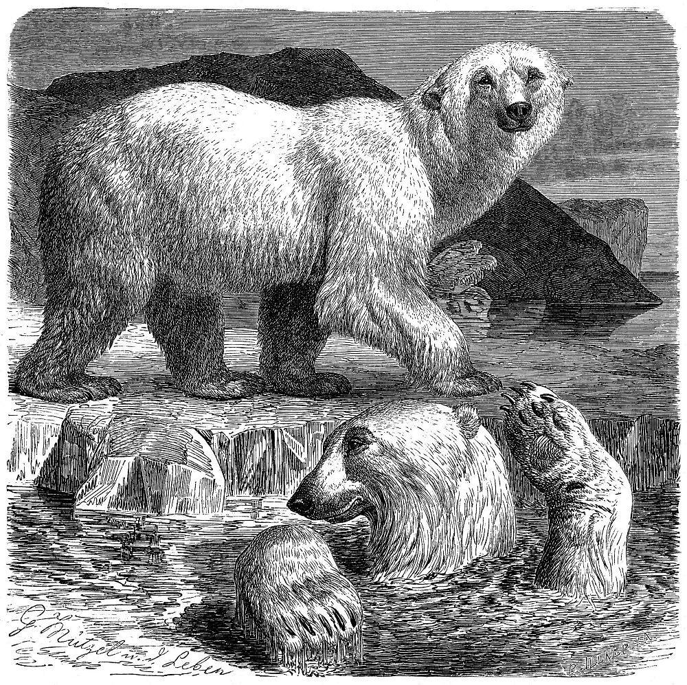 Белый медведь (Ursus maritirnus )