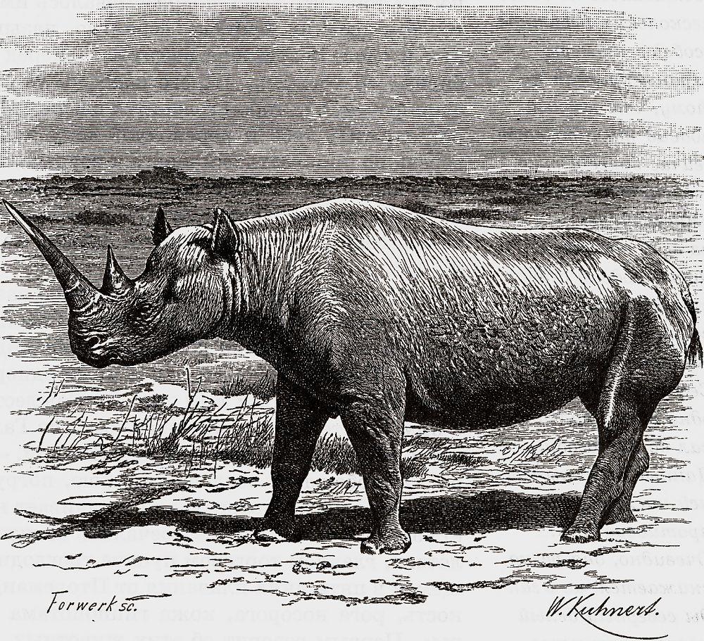 Белый носорог (Сeratotherium simum)