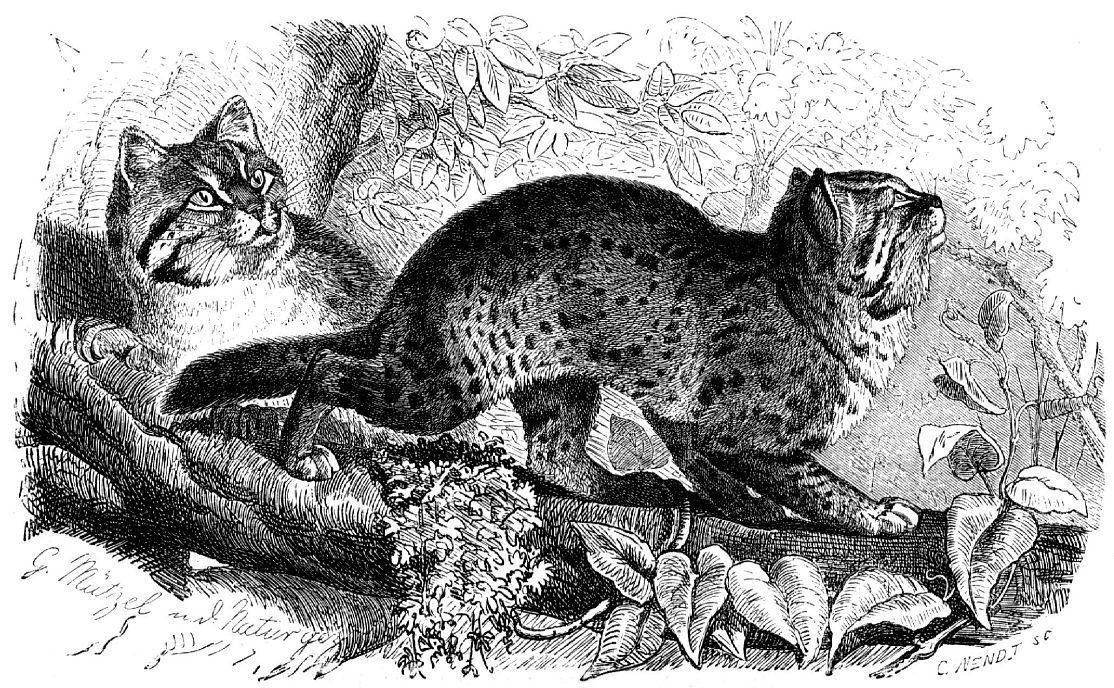 Бенгальская кошка (Prionailurus bengalensis)