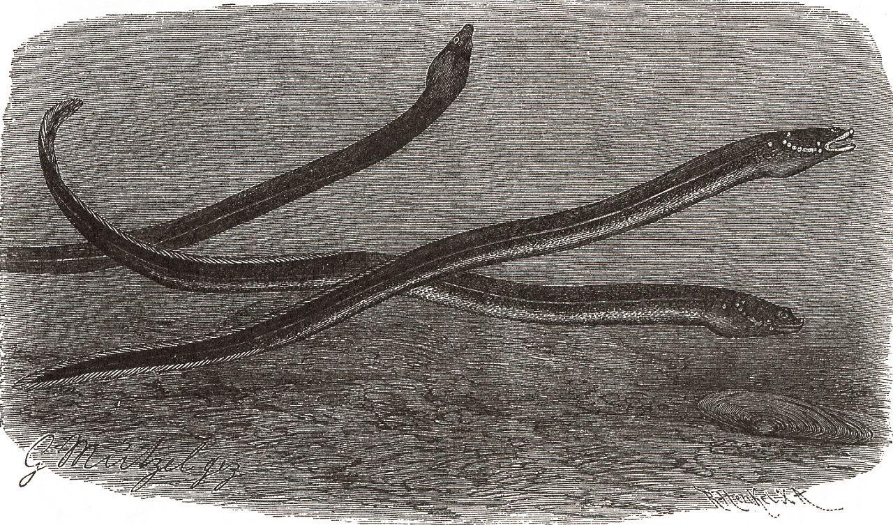 Бенгальский слитножаберник (Synbranehus bengalensis)