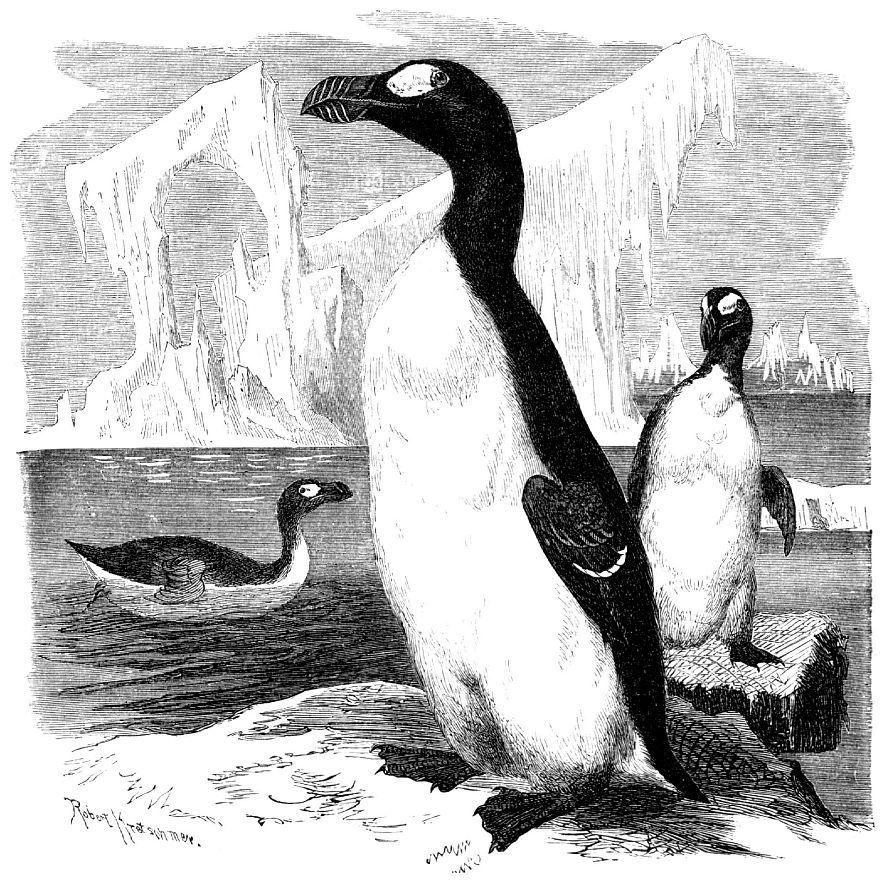 Бескрылая гагарка (Pinguinus impennis)