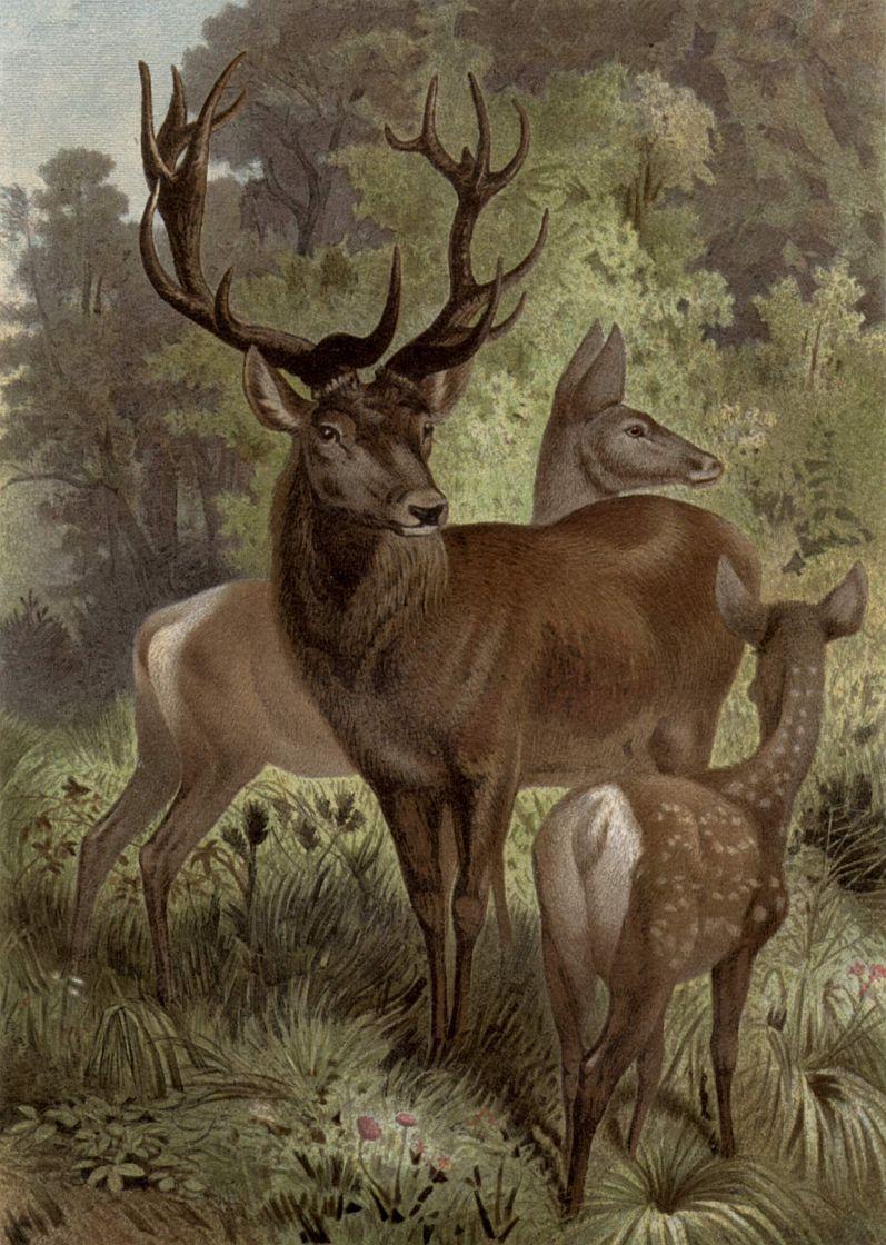 Благородный олень (Сemus etaphus)
