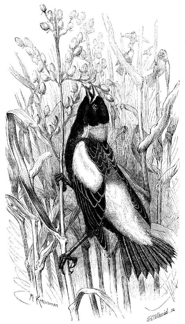 Боболинк (Dylichonyx oiyzivorus)