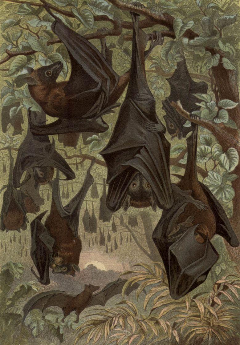 Большая летучая лисица, калонг (Pteropua vampyrus)