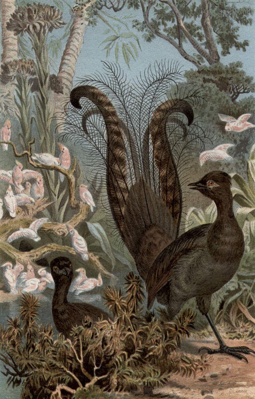 Большая птица-лира (M пиrа novaehollandiae)