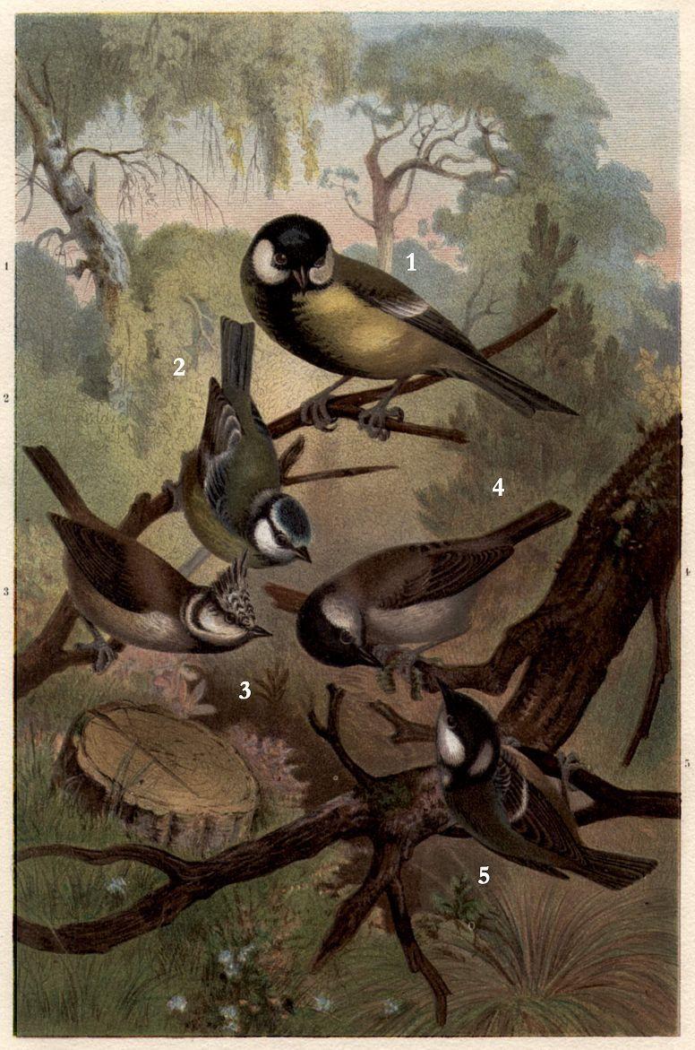 1 - Большая синица (Pants major) 2 - Лазоревка (Parus caeruleus) 3 — Хохлатая синица (Parus cristatus) 4 - Буроголовая гаичка (Parus montanus) 5 - Московка (Parus ate г)