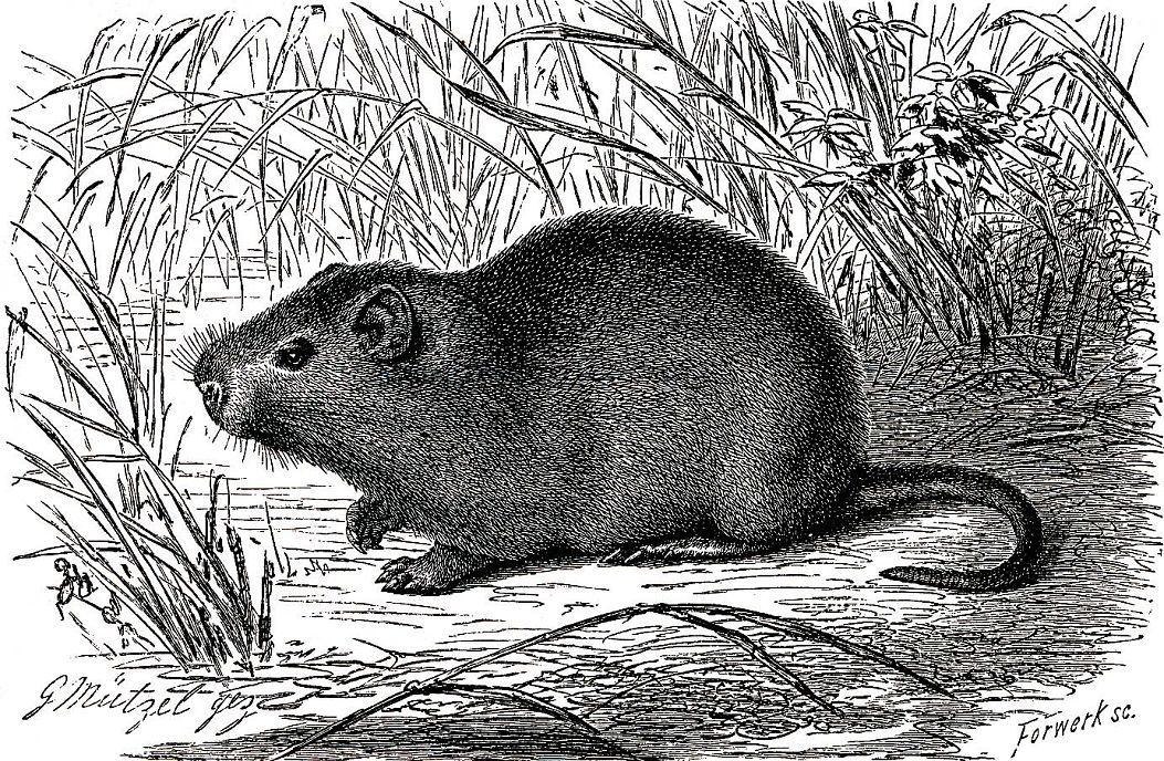 Большая тростниковая крыса (Tlvyonomys swinderianus)